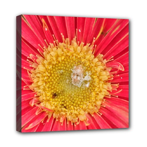 A Red Flower Mini Canvas 8  x 8  (Framed)