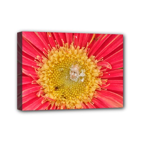 A Red Flower Mini Canvas 7  X 5  (framed)