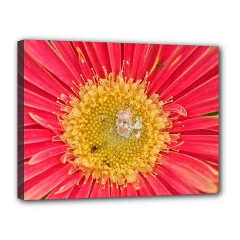 A Red Flower Canvas 16  x 12  (Framed)