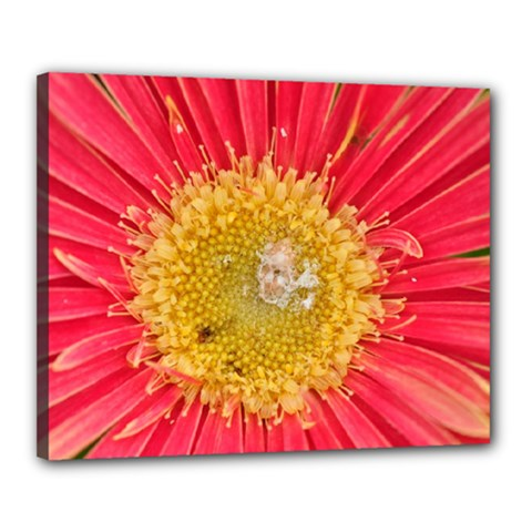 A Red Flower Canvas 20  X 16  (framed)