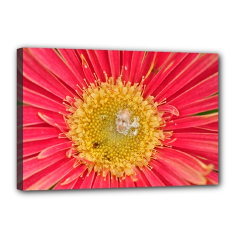 A Red Flower Canvas 18  x 12  (Framed)