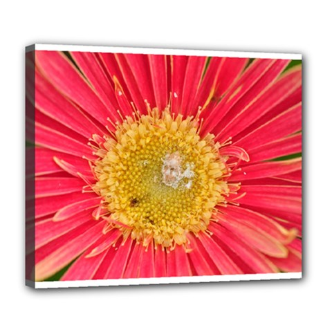 A Red Flower Deluxe Canvas 24  X 20  (framed)