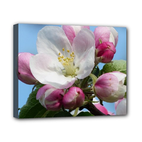 Apple Blossom  Canvas 10  x 8  (Framed)