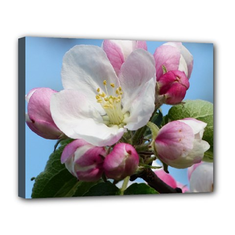 Apple Blossom  Canvas 14  x 11  (Framed)