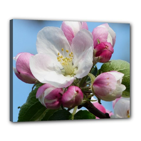 Apple Blossom  Canvas 20  x 16  (Framed)
