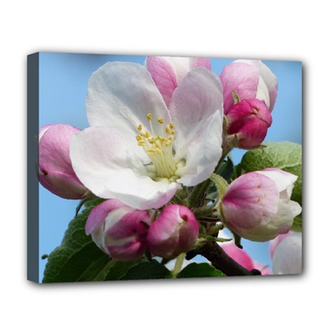 Apple Blossom  Deluxe Canvas 20  x 16  (Framed)