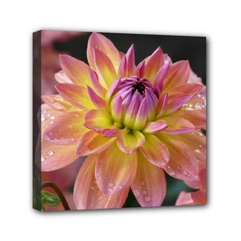 Dahlia Garden  Mini Canvas 6  x 6  (Framed)