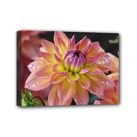 Dahlia Garden  Mini Canvas 7  x 5  (Framed)