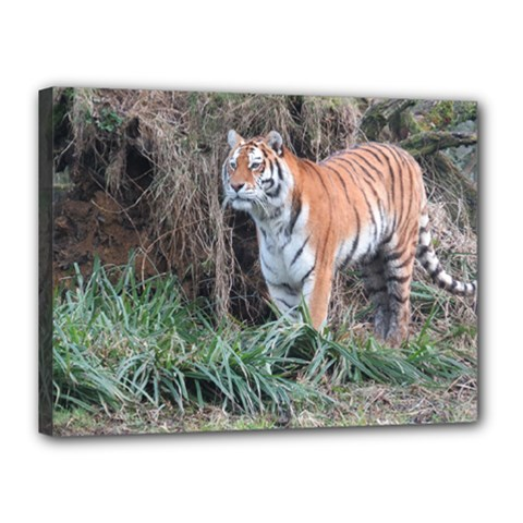 Tiger Canvas 16  x 12  (Framed)