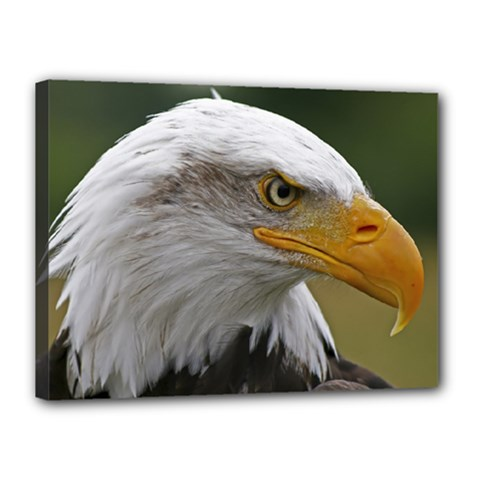 Bald Eagle (2) Canvas 16  x 12  (Framed)