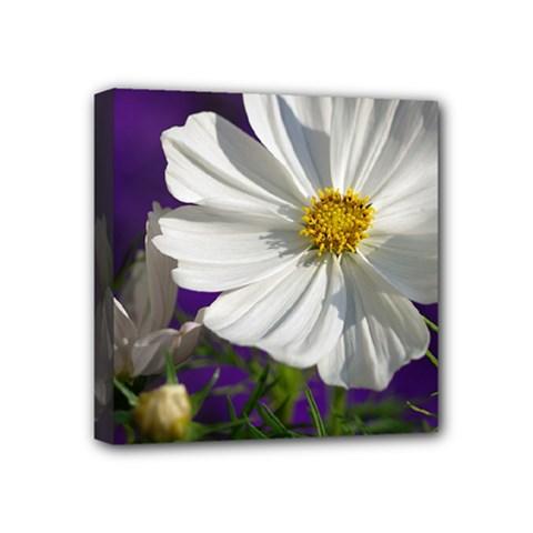 Cosmea   Mini Canvas 4  x 4  (Framed)