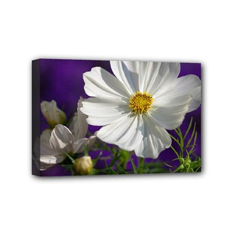 Cosmea   Mini Canvas 6  X 4  (framed)