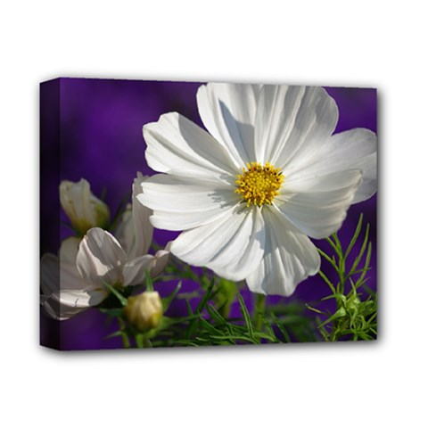 Cosmea   Deluxe Canvas 14  X 11  (framed)