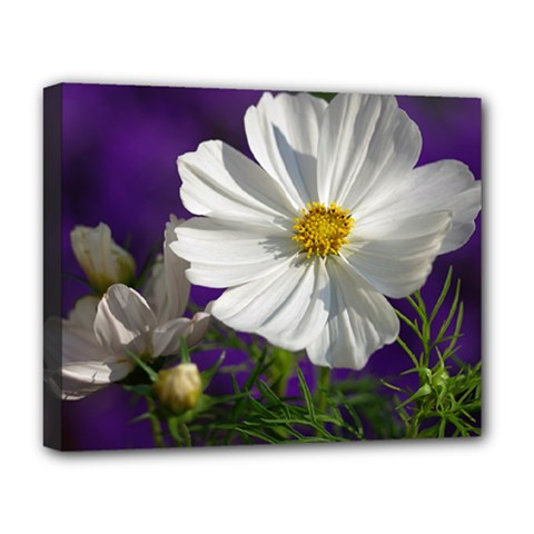 Cosmea   Deluxe Canvas 20  X 16  (framed)