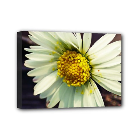 Daisy Mini Canvas 7  x 5  (Framed)