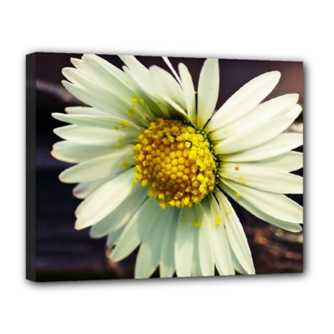 Daisy Canvas 14  x 11  (Framed)