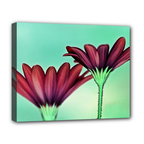 Osterspermum Deluxe Canvas 20  X 16  (framed)