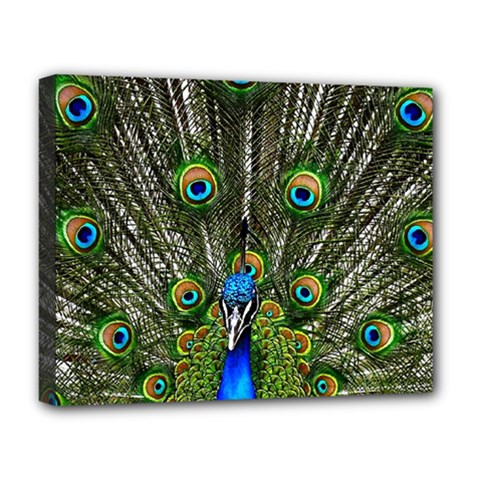 Peacock Deluxe Canvas 20  x 16  (Framed)