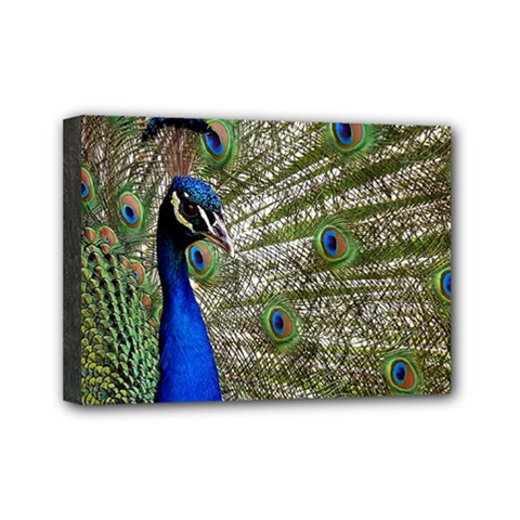 Peacock Mini Canvas 7  x 5  (Framed)