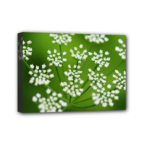 Queen Anne s Lace Mini Canvas 7  x 5  (Framed)