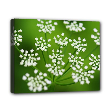 Queen Anne s Lace Canvas 10  x 8  (Framed)