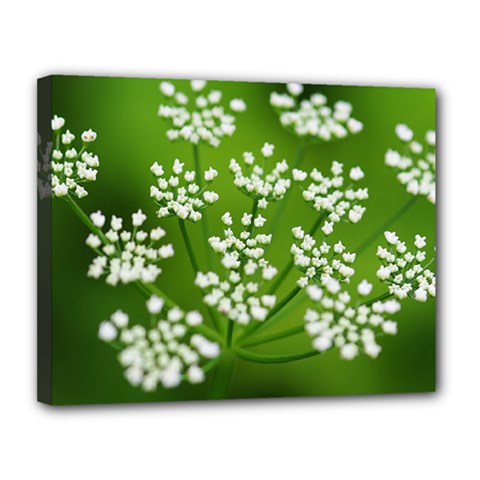 Queen Anne s Lace Canvas 14  x 11  (Framed)