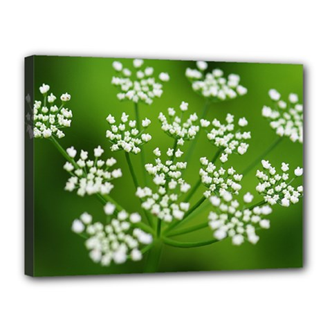 Queen Anne s Lace Canvas 16  x 12  (Framed)