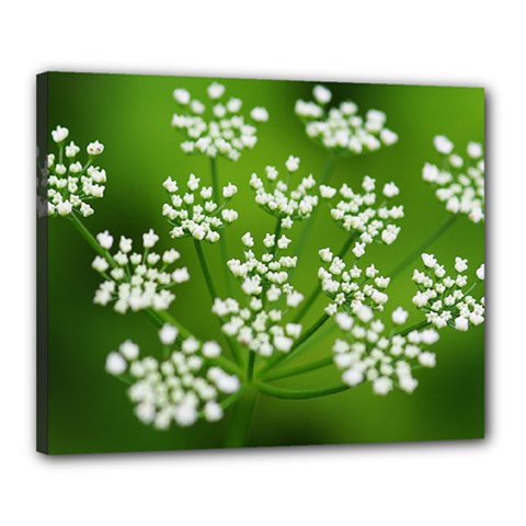 Queen Anne s Lace Canvas 20  X 16  (framed)