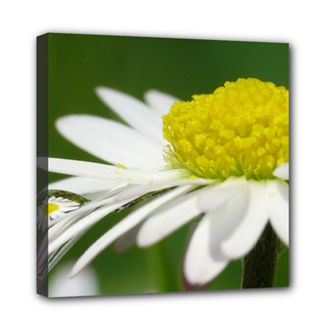 Daisy With Drops Mini Canvas 8  x 8  (Framed)