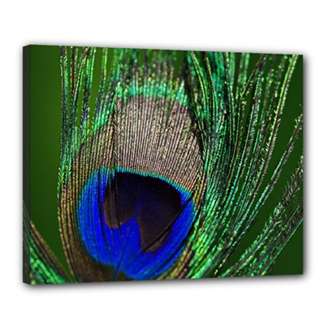 Peacock Canvas 20  x 16  (Framed)