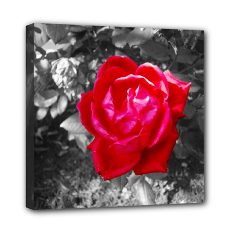 Red Rose Mini Canvas 8  x 8  (Framed)