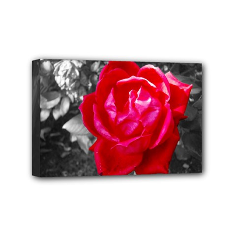 Red Rose Mini Canvas 6  x 4  (Framed)