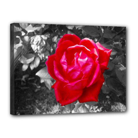 Red Rose Canvas 16  x 12  (Framed)