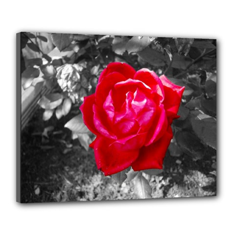 Red Rose Canvas 20  X 16  (framed)