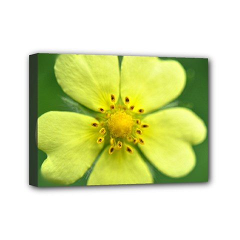 Yellowwildflowerdetail Mini Canvas 7  x 5  (Framed)