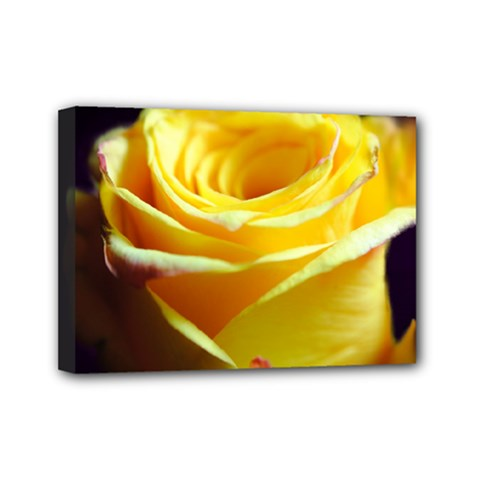 Yellow Rose Curling Mini Canvas 7  X 5  (framed)