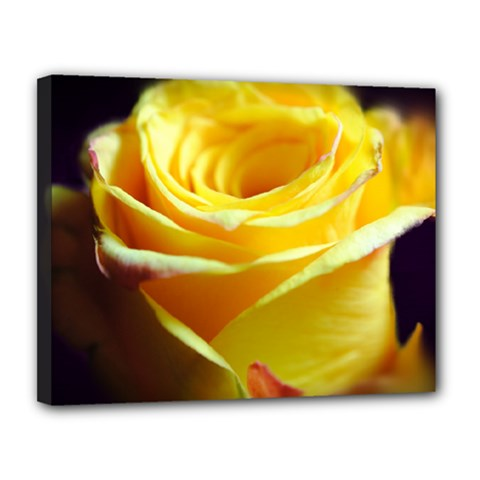 Yellow Rose Curling Canvas 14  x 11  (Framed)