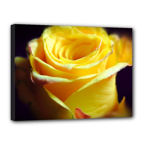 Yellow Rose Curling Canvas 16  x 12  (Framed)