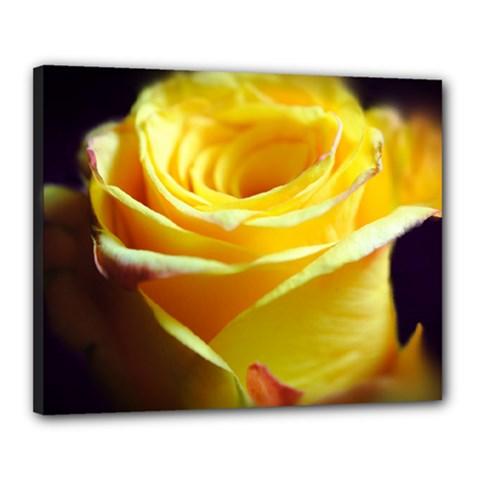 Yellow Rose Curling Canvas 20  x 16  (Framed)