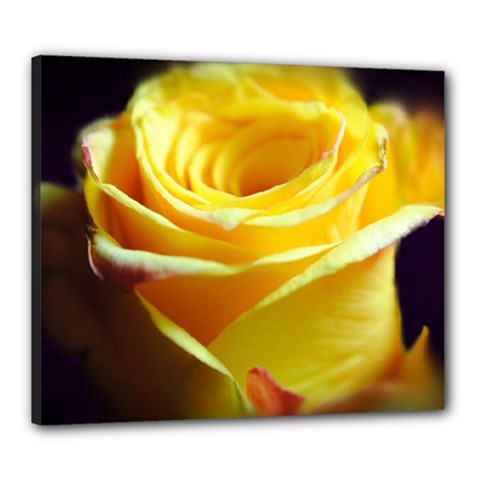 Yellow Rose Curling Canvas 24  x 20  (Framed)