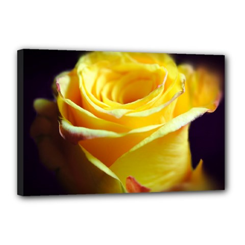 Yellow Rose Curling Canvas 18  x 12  (Framed)