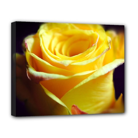 Yellow Rose Curling Deluxe Canvas 20  x 16  (Framed)