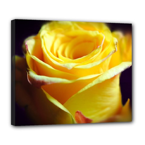 Yellow Rose Curling Deluxe Canvas 24  x 20  (Framed)