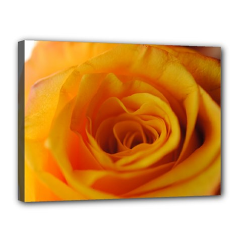 Yellow Rose Close Up Canvas 16  X 12  (framed)
