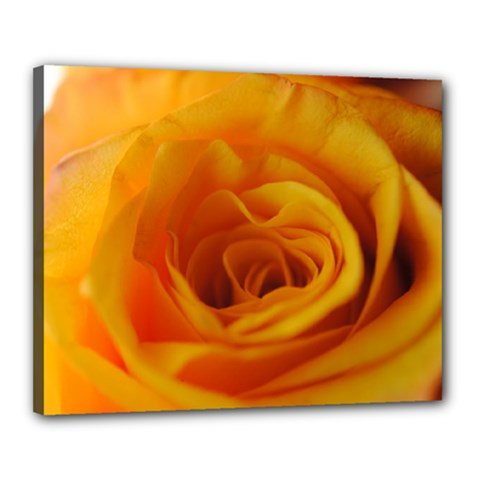 Yellow Rose Close Up Canvas 20  x 16  (Framed)