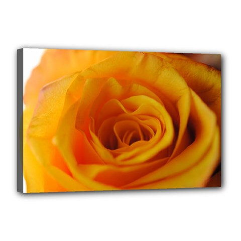 Yellow Rose Close Up Canvas 18  X 12  (framed)