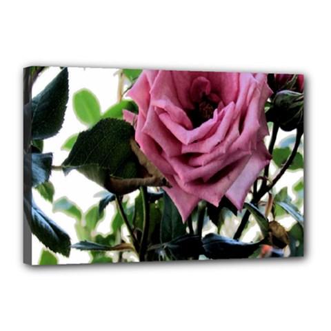 Rose Canvas 18  x 12  (Framed)