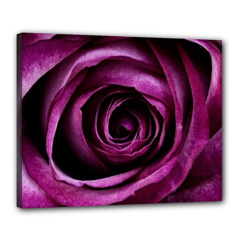 Deep Purple Rose Canvas 20  x 16  (Framed)