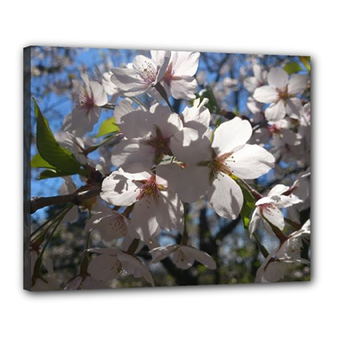 Cherry Blossoms Canvas 20  x 16  (Framed)