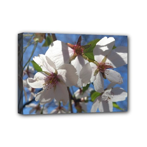 Cherry Blossoms Mini Canvas 7  X 5  (framed)